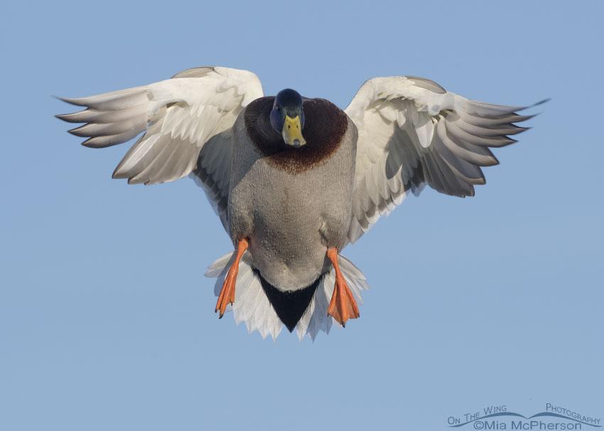 Mallard drake in landing pose