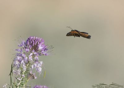 Monarch Butterfly flying towards a Rocky Mountain Bee Plant