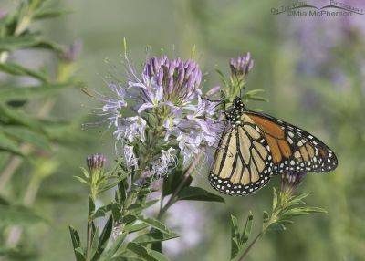 Monarch Butterfly nectaring on Rocky Mountain Bee Plant