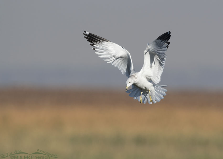 Ring-billed Gull hovering over the marsh at Farmington Bay