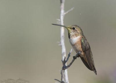Young Rufous Hummingbird on Antelope Island