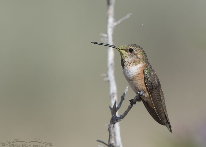 Young Rufous Hummingbird on Antelope Island