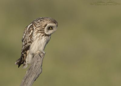 Short-eared Owl male on a old cedar fence post