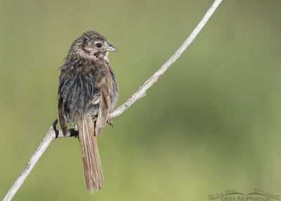 Messy looking immature Song Sparrow