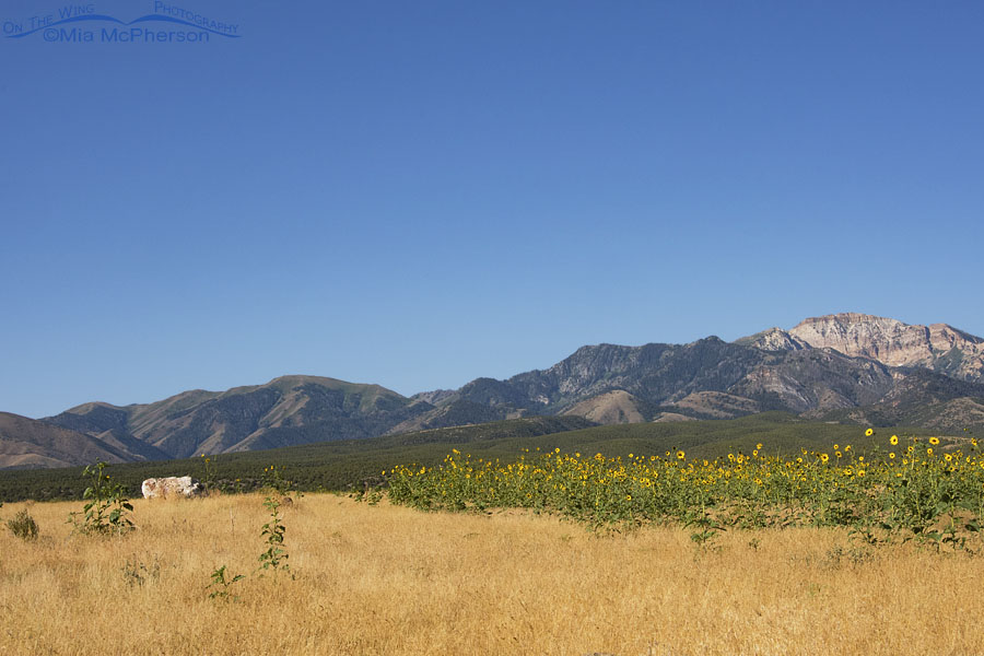 Sunflowers blooming in front of the Stansbury Mountains