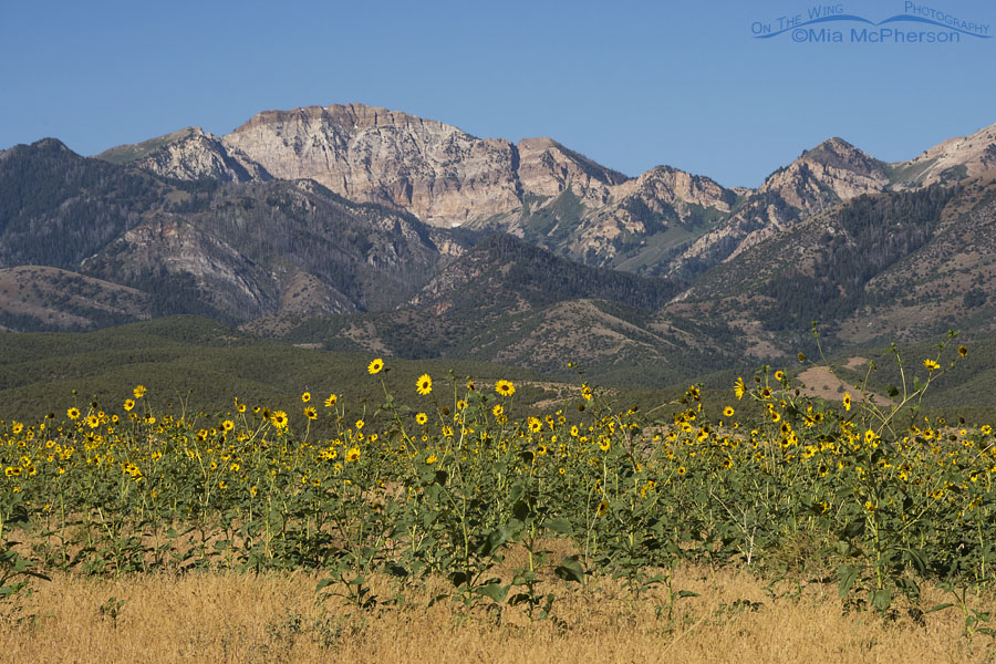 Stansbury Mountains and Wild Sunflowers