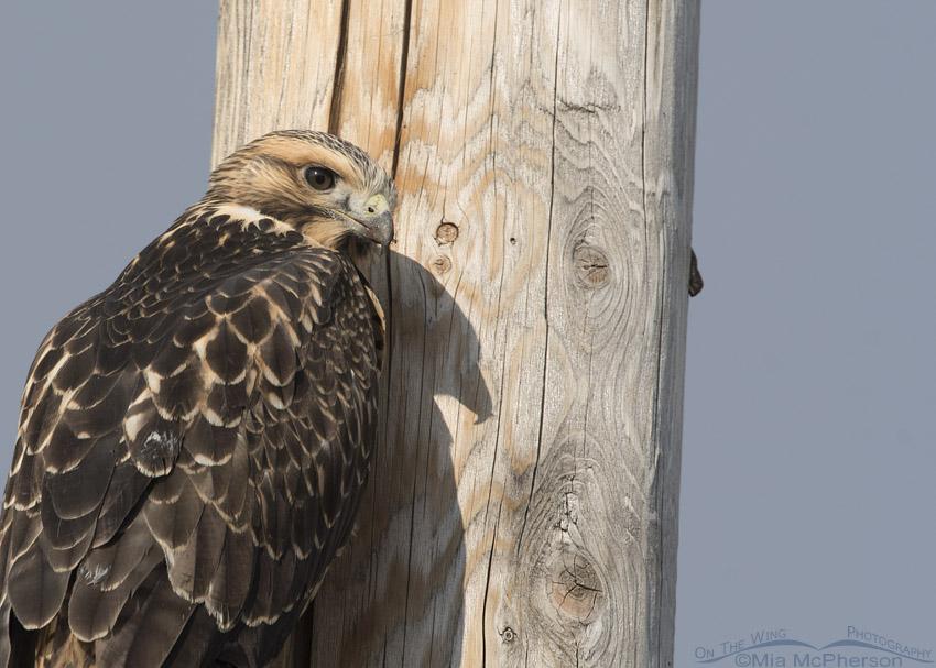 Juvenile Swainson's Hawk perched on a power pole