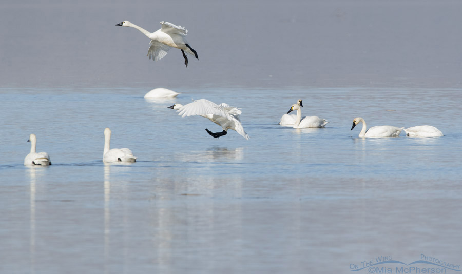 Dreaming of Tundra Swans & Winter