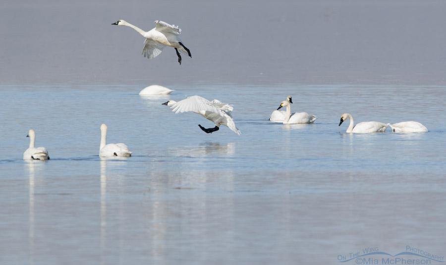 Landing Tundra Swans