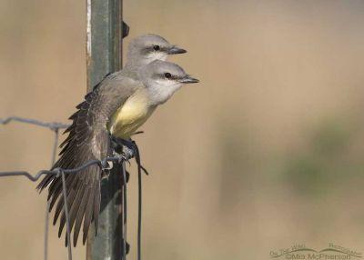 Western Kingbird siblings