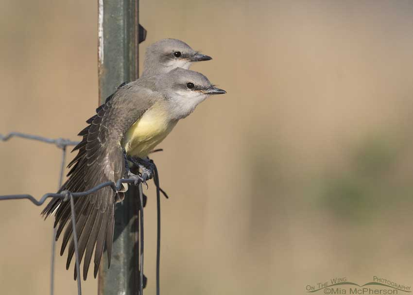 Western Kingbird siblings