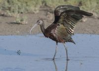 White-faced Ibis wing lift