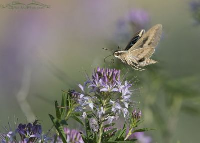 White-lined Sphinx Moth hovering over flowers