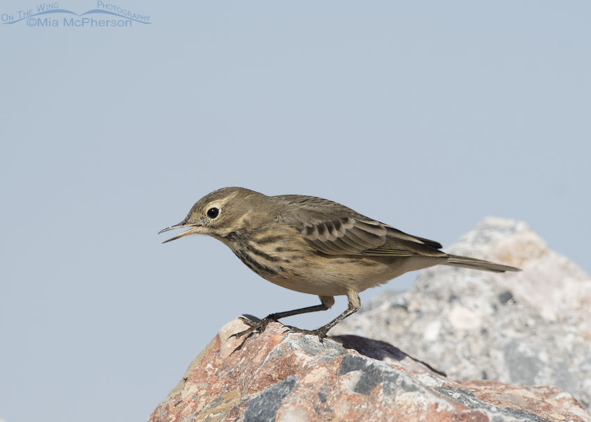 American Pipit calling while perched on a rock
