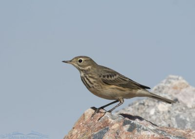 American Pipit crouching on a rock