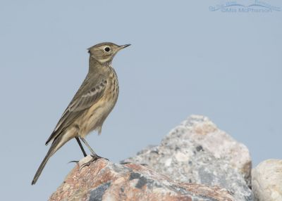 American Pipit standing tall