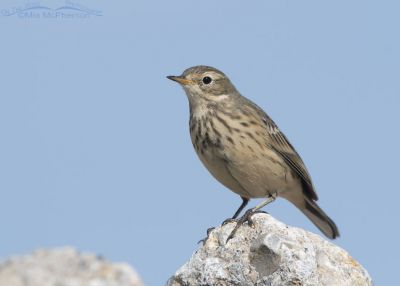 American Pipit perched on a white rock
