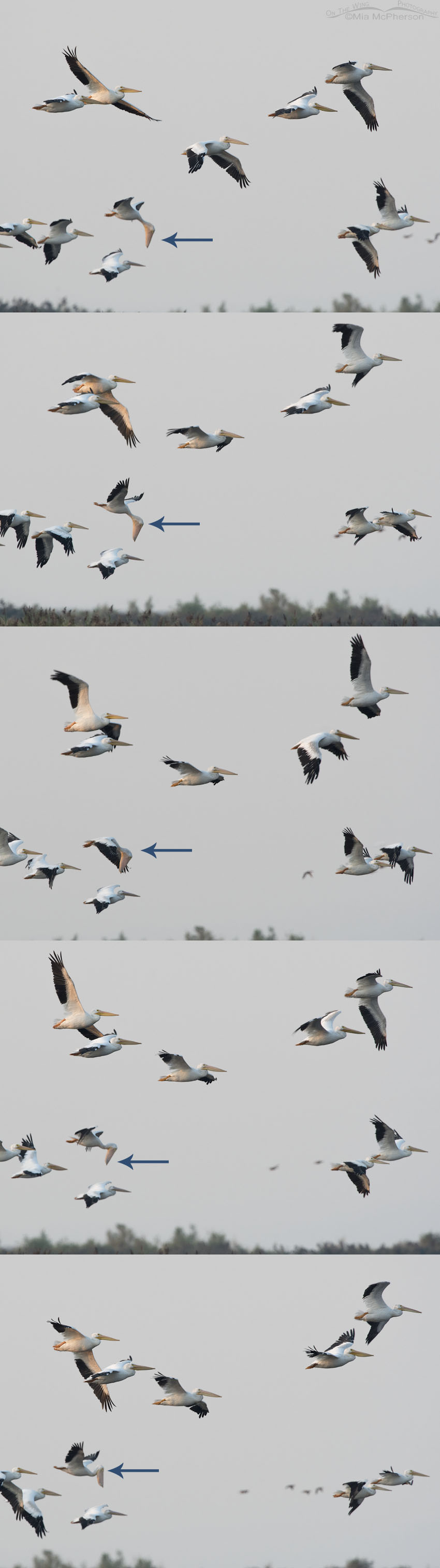 American White Pelican flying with bill full?