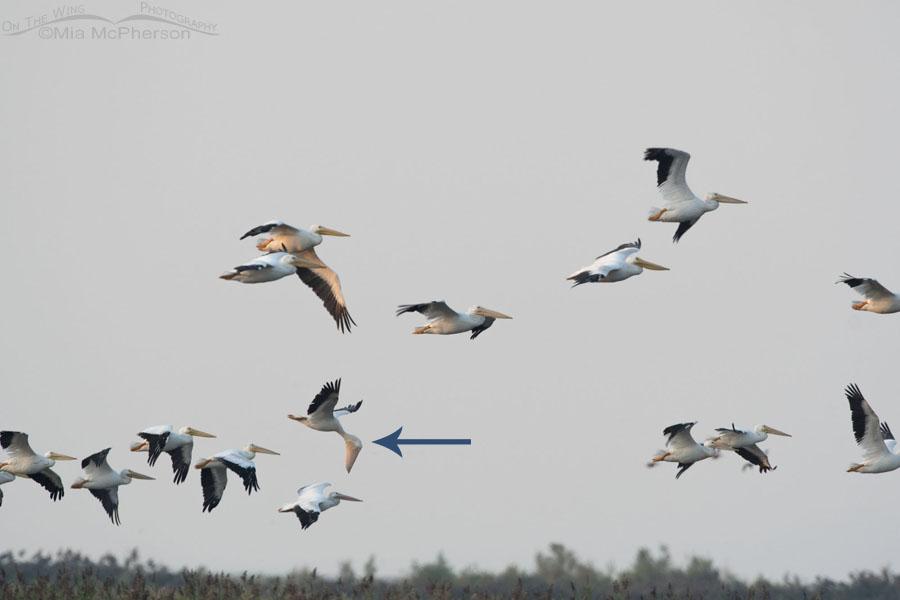 American White Pelican in flight with bill full?