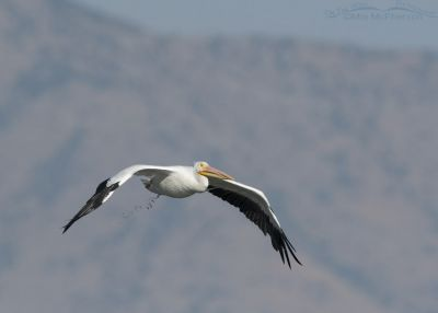 American White Pelican defecating while in flight