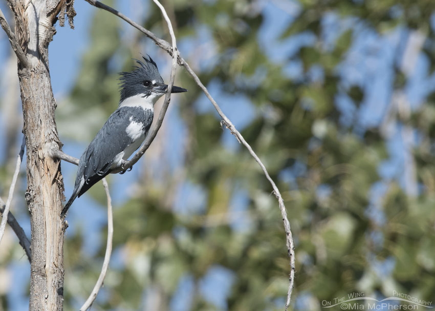 Fall Belted Kingfisher male