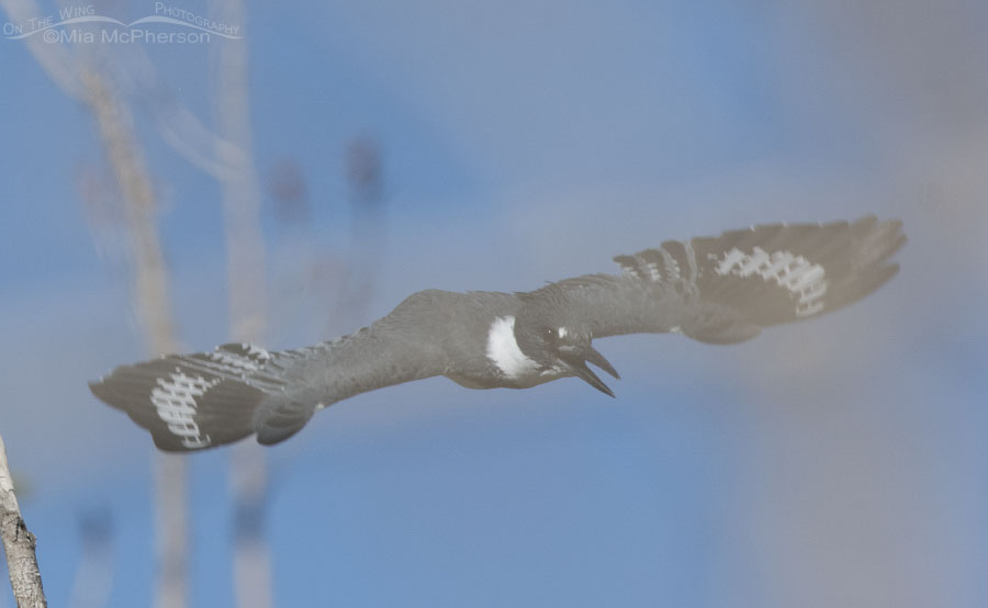 Belted Kingfisher in flight - In Stealth Mode