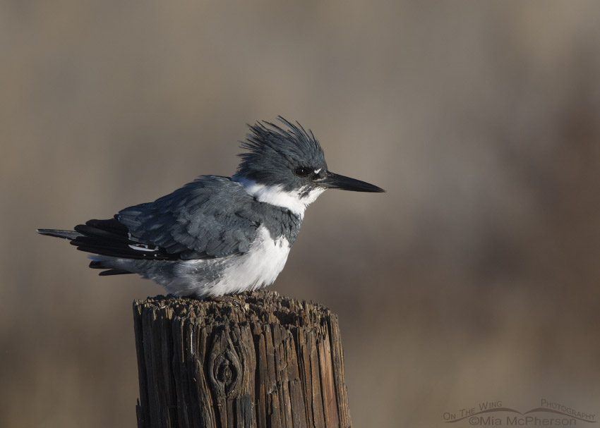 Male Belted Kingfisher shaking his feathers