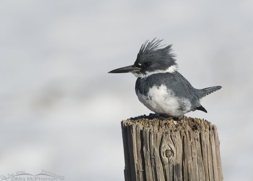 Winter snow and a male Belted Kingfisher