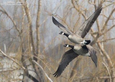 Pair of Canada Geese in flight