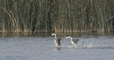 Clark's Grebes Rushing in September
