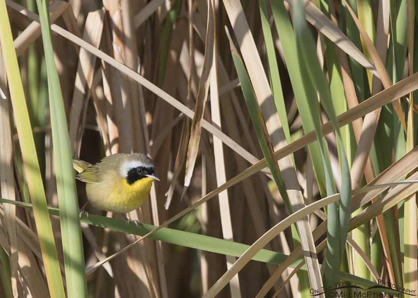Male Common Yellowthroat in Cattails