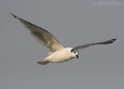 Franklin's Gull flying in a smoky sky