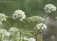 Blooming Gardner's Yampah