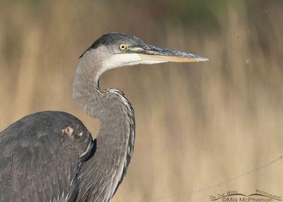 Portrait of a juvenile Great Blue Heron