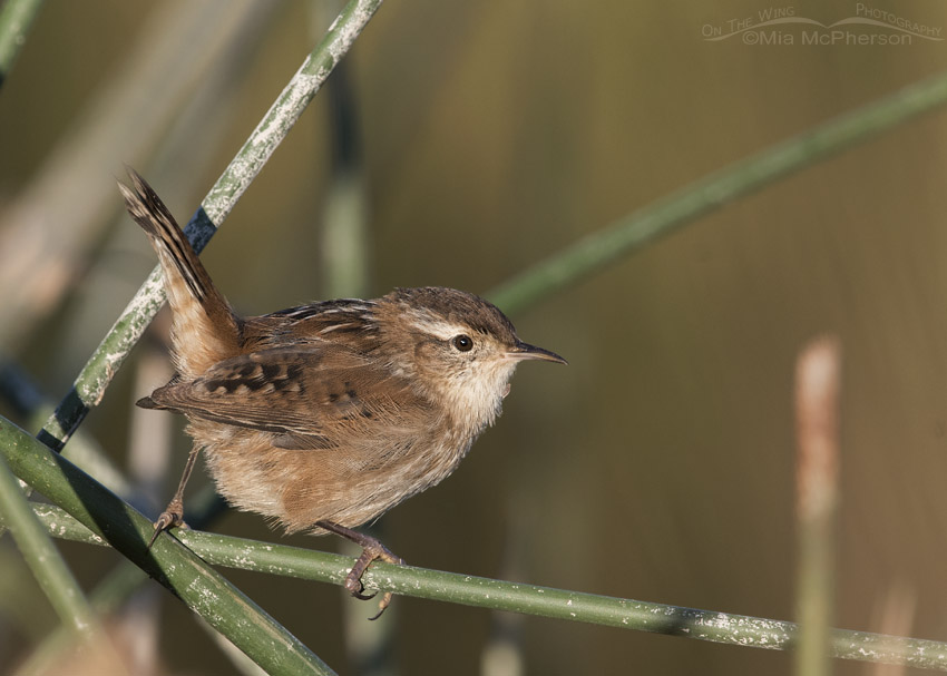 Marsh Wren perched on rushes in early morning light
