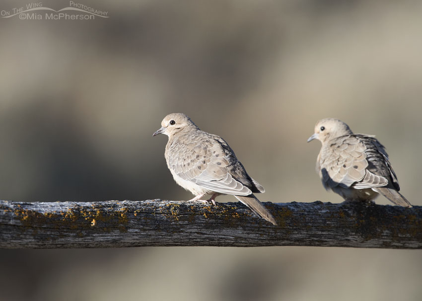 Juvenile Mourning Dove in morning light