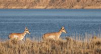 Autumn Pronghorns at Flaming Gorge Reservoir