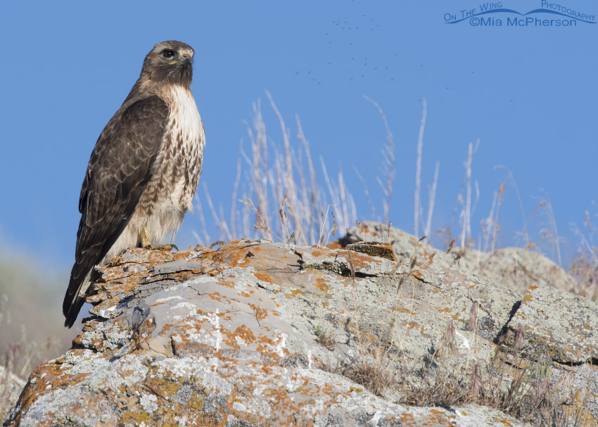 Red-tailed Hawk surveying its world