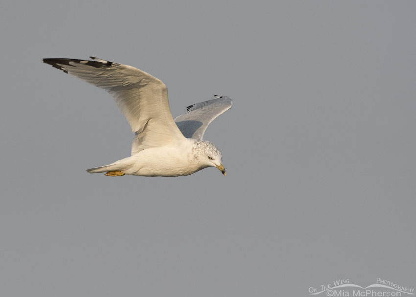 Ring-billed Gull flying in a smoky sky