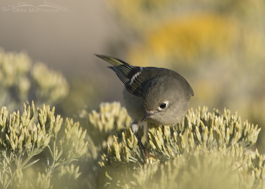Ruby-crowned Kinglet close up on Rabbitbrush