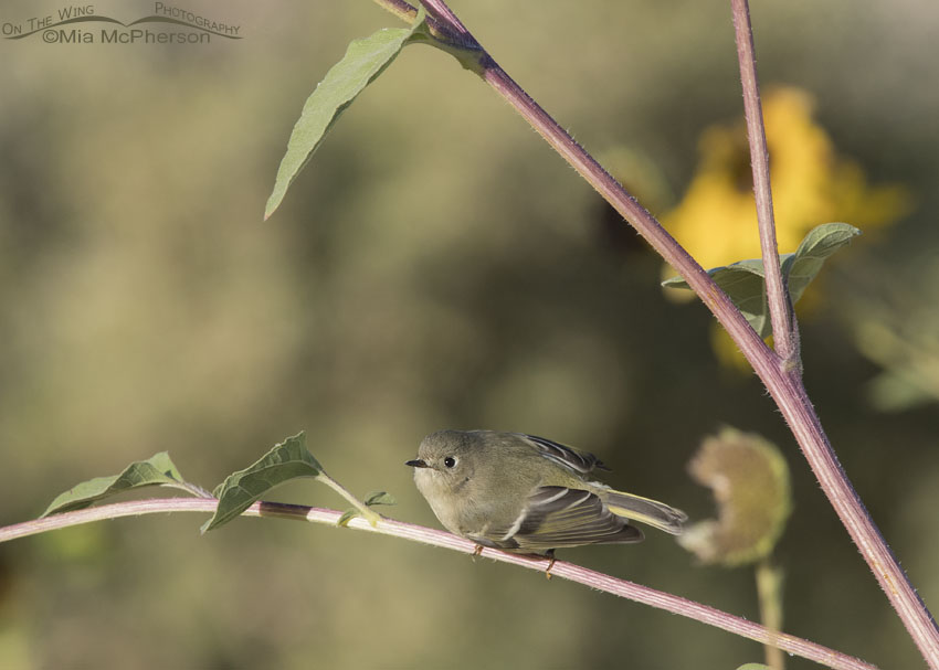 Ruby-crowned Kinglet - Small in the Frame