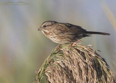 Adult Song Sparrow at Bear River MBR