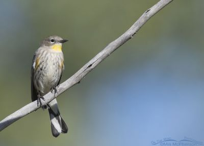 Yellow-rumped Warbler perched over a pond