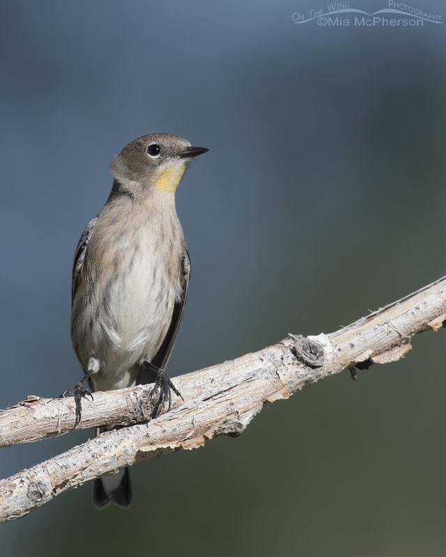 Alert Yellow-rumped Warbler