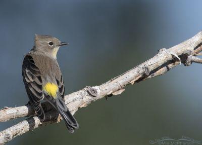 Wind-blown Yellow-rumped Warbler