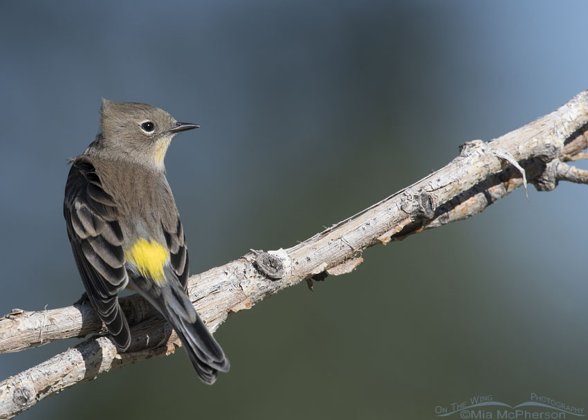 Wind-blown Yellow-rumped Warbler