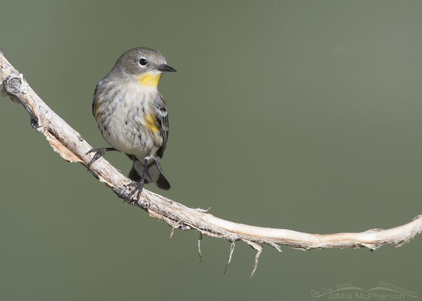 Yellow-rumped Warbler on a curved branch