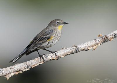 Migrating Yellow-rumped Warbler