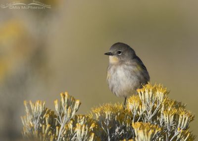 Yellow-rumped Warbler perched on blooming Rabbitbrush