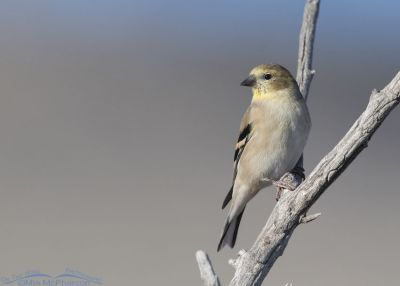 American Goldfinch in nonbreeding plumage